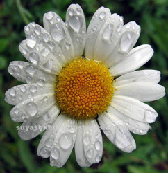 羅馬洋甘菊 Anthemis_Nobilis_oil.jpg_250x250