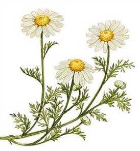 羅馬洋甘菊 chamomile1