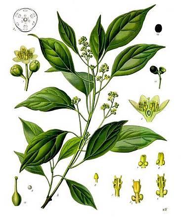 Ravintsara-wiki-public domain-Copyright-expired-Koeh