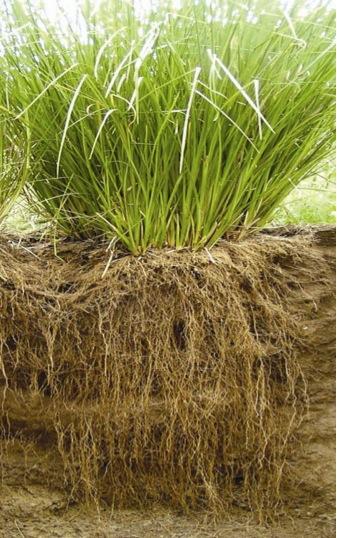 長長的根部,抓地力很強的岩蘭草