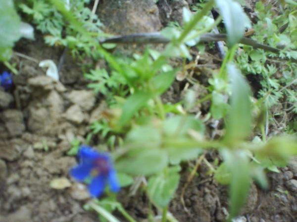 道場小藍花