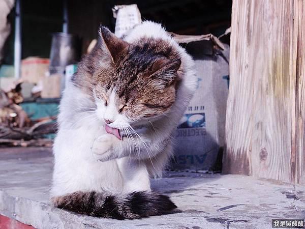 16-西藏貓咪.JPG