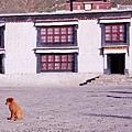 17-西藏小狗.JPG