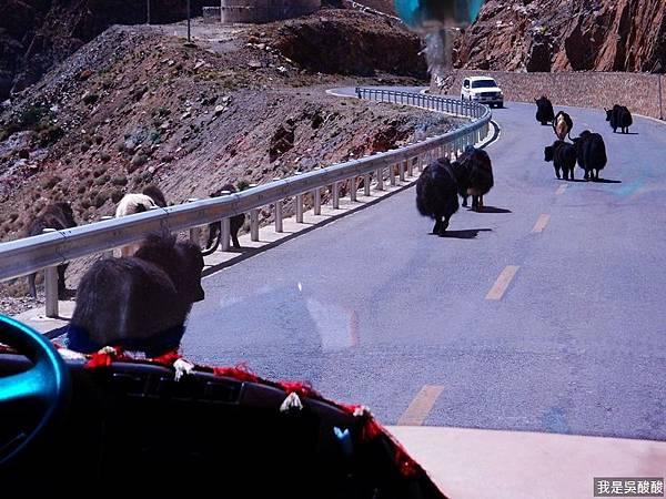 21-西藏氂牛.JPG
