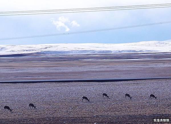47-青藏鐵路 臟羚羊 我是酸酸