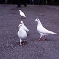 19-我的白鴿朋友.JPG