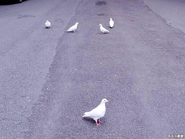 18-我的白鴿朋友.JPG