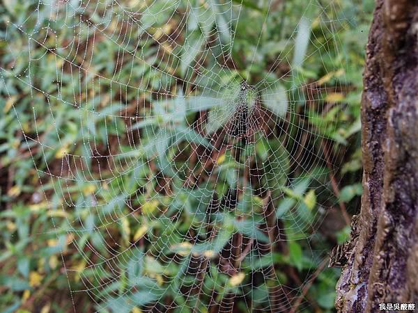 28-溪頭蜘蛛網 好漂亮.JPG
