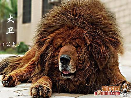 03 西藏獒犬