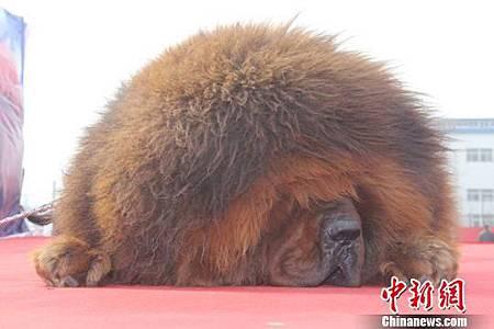 01 西藏獒犬