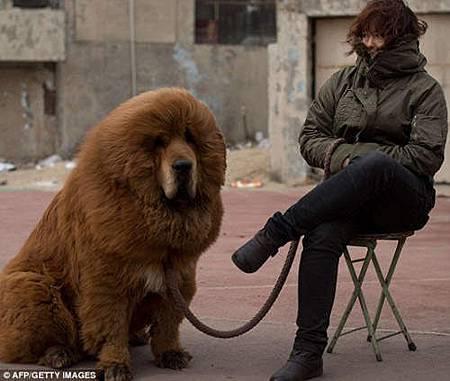 04 西藏獒犬