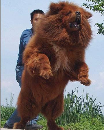 02 西藏獒犬
