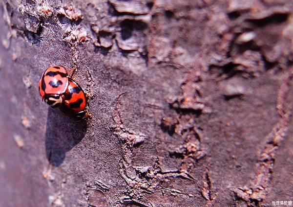 01-春天到了 小瓢蟲出現了.JPG