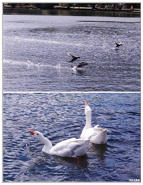94-紐西蘭奧克蘭鴨子湖