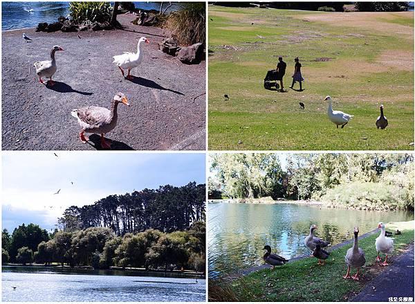 95-紐西蘭奧克蘭鴨子湖