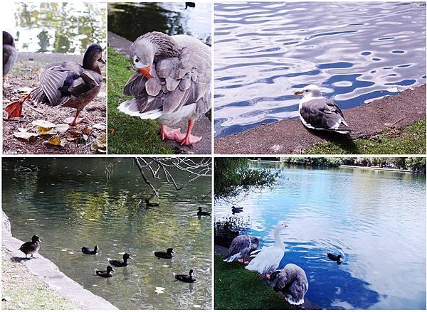 97-紐西蘭奧克蘭鴨子湖