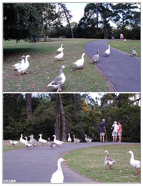 99-紐西蘭奧克蘭鴨子湖