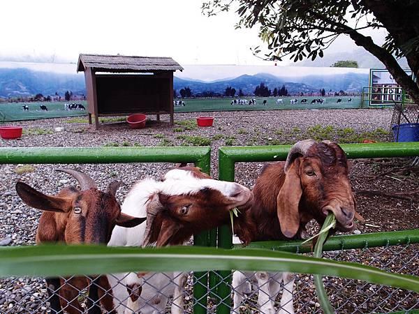 47-花蓮兆豐農場餵羊吃草.JPG