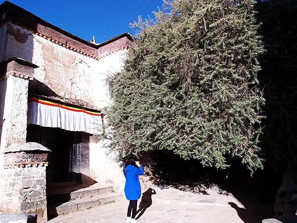 26-西藏扎什倫布寺 酥油燈燈芯樹