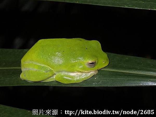 台北樹蛙(母)