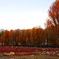 038-稻城桑堆紅草地.JPG