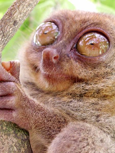 03-薄荷島眼鏡猴(酸酸2006年拍攝).JPG