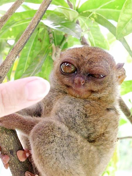 07-薄荷島眼鏡猴(酸酸2006年拍攝).JPG