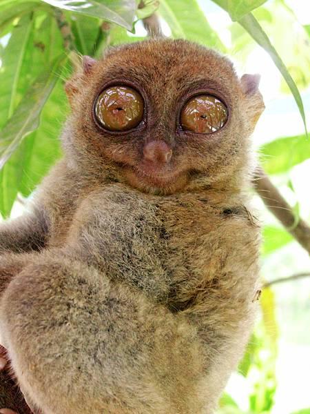 08-薄荷島眼鏡猴(酸酸2006年拍攝).JPG