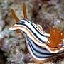 海蛞蝓(網路抓圖)03.jpg