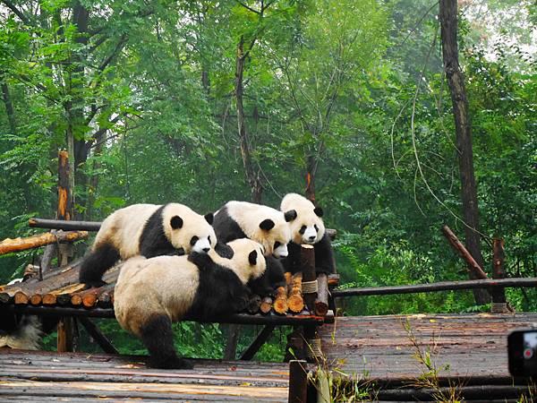 07-四川好好玩之成都的探險記 大熊貓基地.JPG