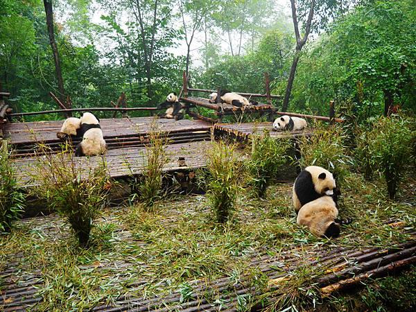 09-四川好好玩之成都的探險記 大熊貓基地.JPG