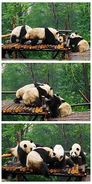06-四川好好玩之成都的探險記 大熊貓基地.jpg