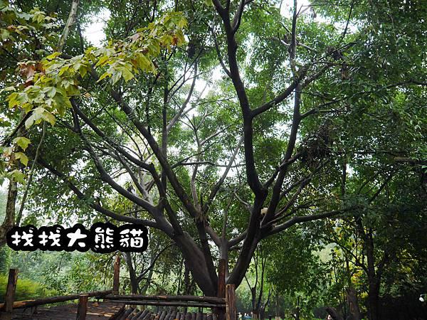 13-四川好好玩之成都的探險記 大熊貓基地.jpg