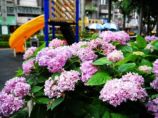 51-台北市松山區 繡球花.JPG