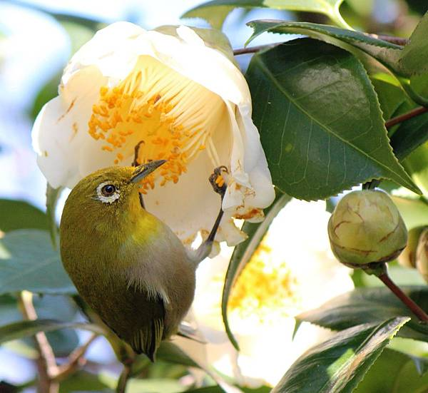 Zosterops_japonicus_and_Camellia_japonica.jpg