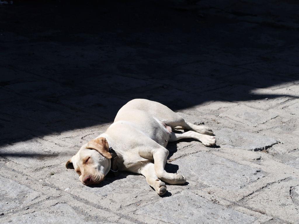 64-西藏吳酸酸 前往卡若拉冰川 午睡的狗狗.JPG