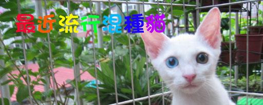 金銀眼貓.jpg