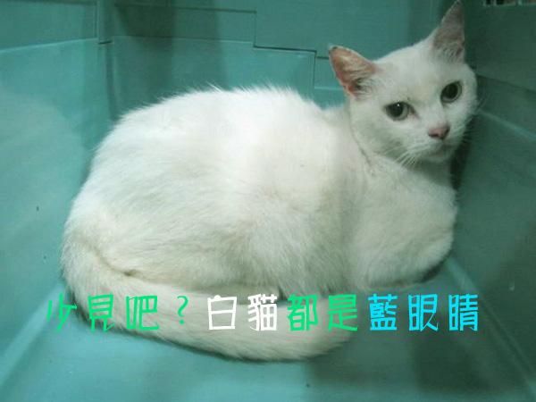 少見的碧眼白貓.jpg