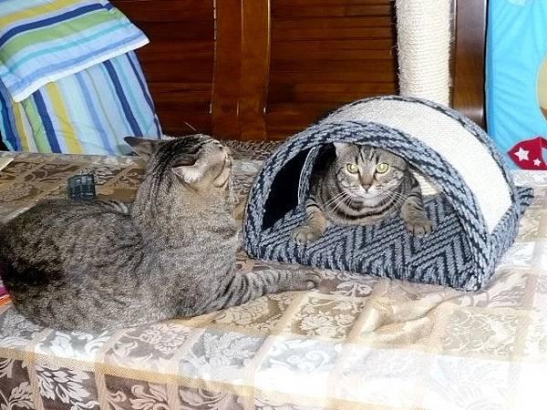 兩隻貓三個窩1.jpg