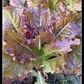紫色大陸妹2.jpg