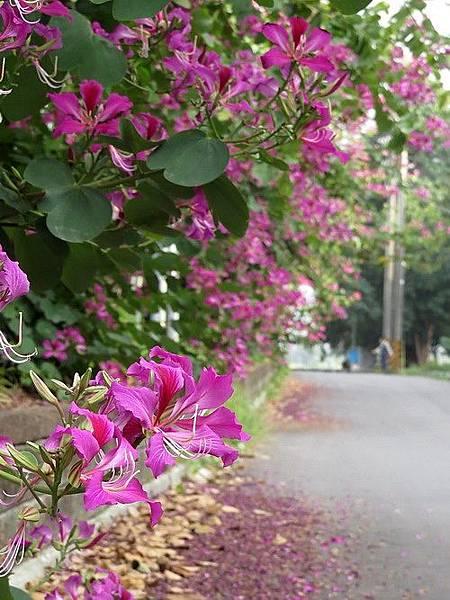 艷紫荊1.jpg