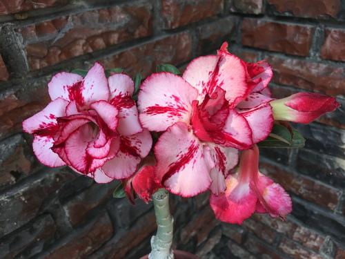 沙漠玫瑰2.jpg
