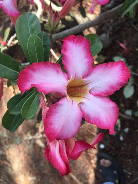 沙漠玫瑰21.jpg