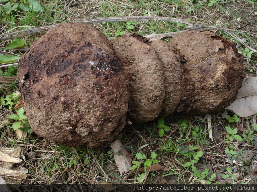 薯榔染色用地下莖