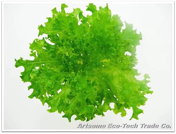 綠皺葉萵苣_1