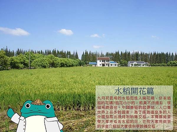 水稻開花篇