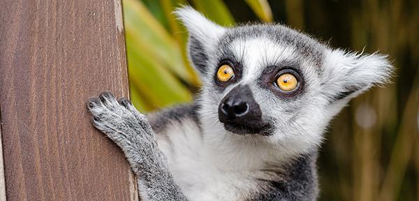 lemur-1045220_1920.jpg