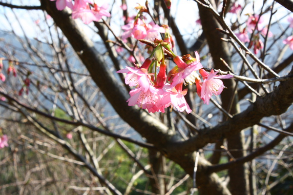 櫻花也開了