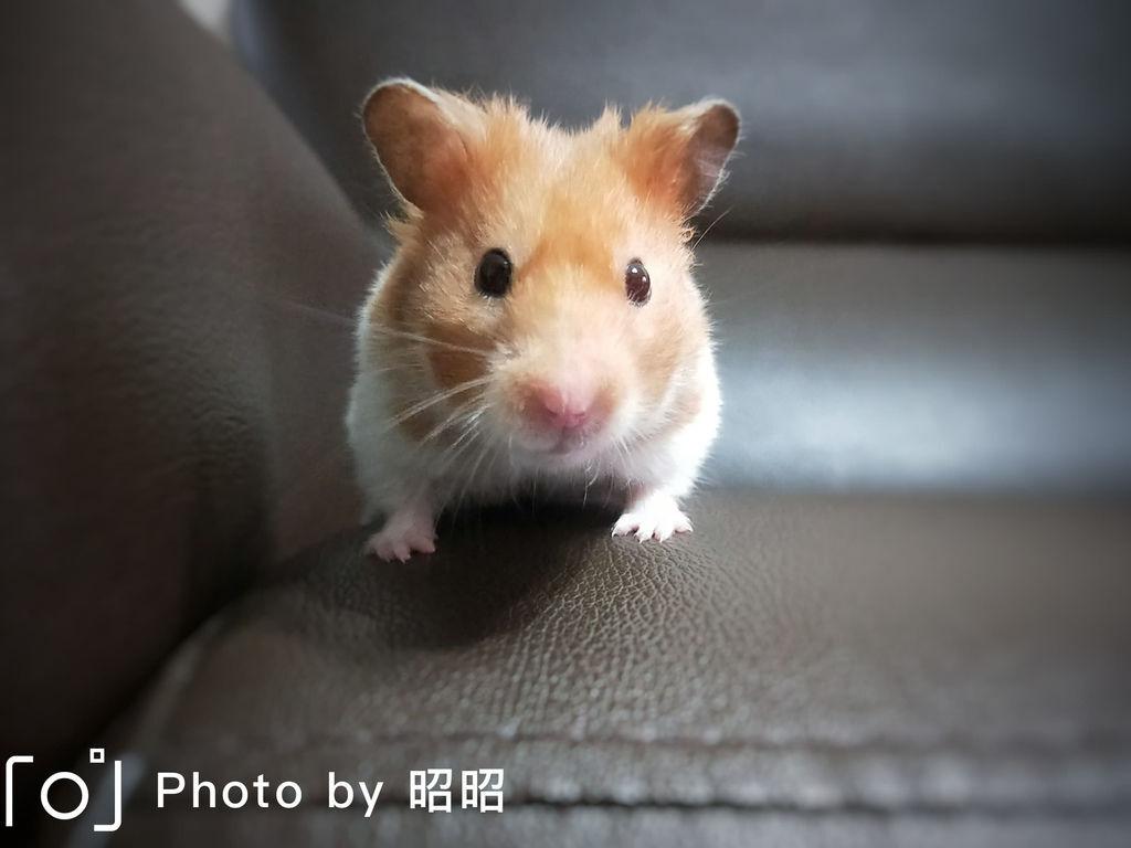 黃金鼠飼養方法