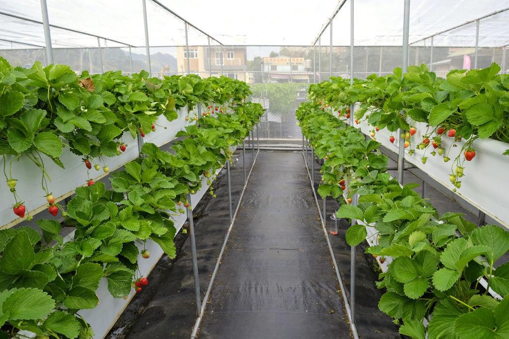 大湖草莓農場古意園1495.jpg